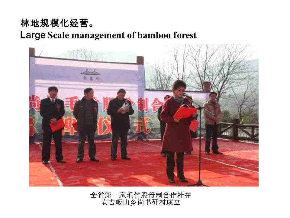林地规模化经营。 Large Scale management of bamboo forest 全省第一家毛竹股份制合作社在 安吉皈山乡尚书矸村成立