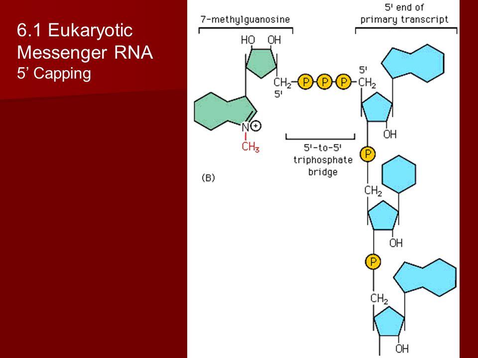 6.1 Eukaryotic Messenger RNA 5' Capping