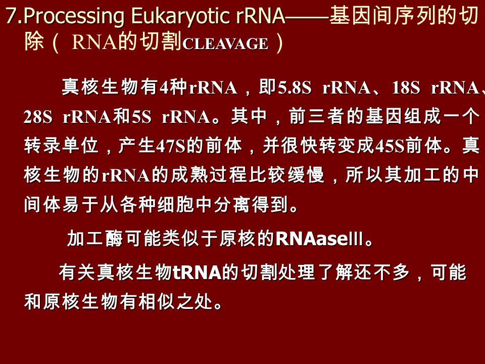 真核生物有 4 种 rRNA ,即 5.8S rRNA 、 18S rRNA 、 28S rRNA 和 5S rRNA 。其中,前三者的基因组成一个 转录单位,产生 47S 的前体,并很快转变成 45S 前体。真 核生物的 rRNA 的成熟过程比较缓慢,所以其加工的中 间体易于从各种细胞中分离得到。 真核生物有 4 种 rRNA ,即 5.8S rRNA 、 18S rRNA 、 28S rRNA 和 5S rRNA 。其中,前三者的基因组成一个 转录单位,产生 47S 的前体,并很快转变成 45S 前体。真 核生物的 rRNA 的成熟过程比较缓慢,所以其加工的中 间体易于从各种细胞中分离得到。 加工酶可能类似于原核的 RNAase Ⅲ。 加工酶可能类似于原核的 RNAase Ⅲ。 有关真核生物 tRNA 的切割处理了解还不多,可能 和原核生物有相似之处。 有关真核生物 tRNA 的切割处理了解还不多,可能 和原核生物有相似之处。 7.Processing Eukaryotic rRNA —— CLEAVAGE 7.Processing Eukaryotic rRNA —— 基因间序列的切 除( RNA 的切割 CLEAVAGE )