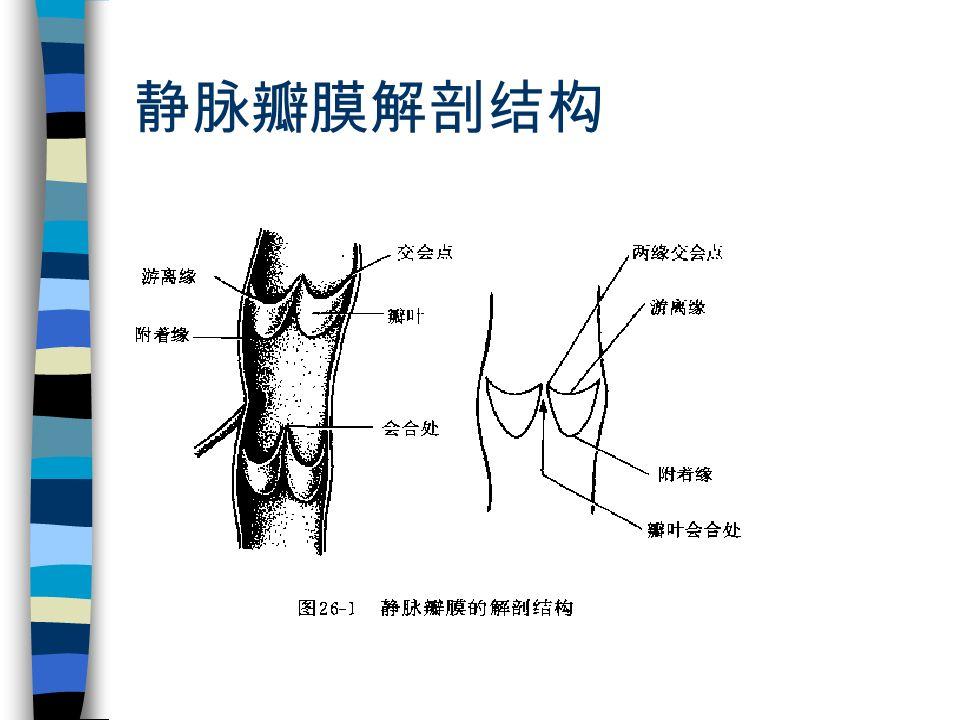 静脉瓣膜解剖结构