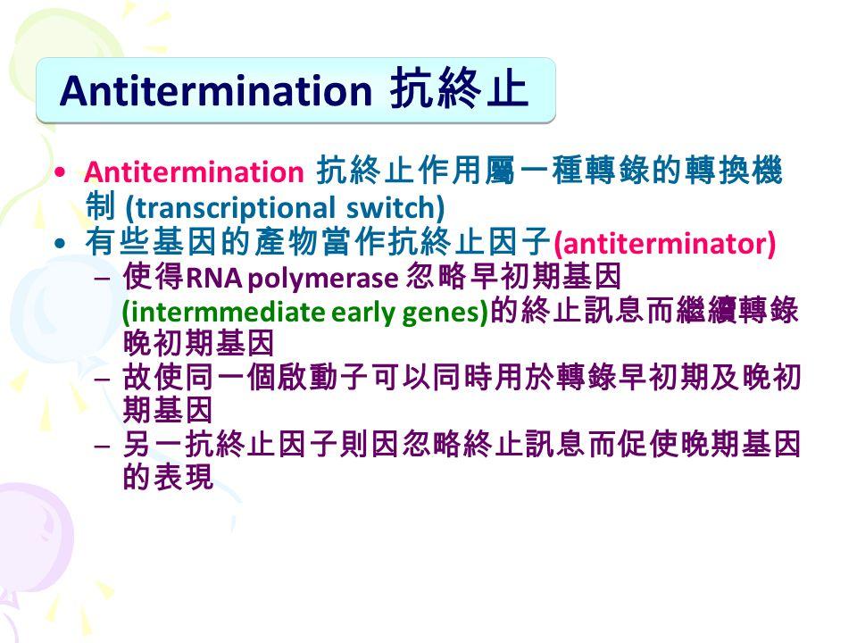 Antitermination 抗終止作用屬一種轉錄的轉換機 制 (transcriptional switch) 有些基因的產物當作抗終止因子 (antiterminator) – 使得 RNA polymerase 忽略早初期基因 (intermmediate early genes) 的終止訊息而繼續轉錄 晚初期基因 – 故使同一個啟動子可以同時用於轉錄早初期及晚初 期基因 – 另一抗終止因子則因忽略終止訊息而促使晚期基因 的表現 Antitermination 抗終止