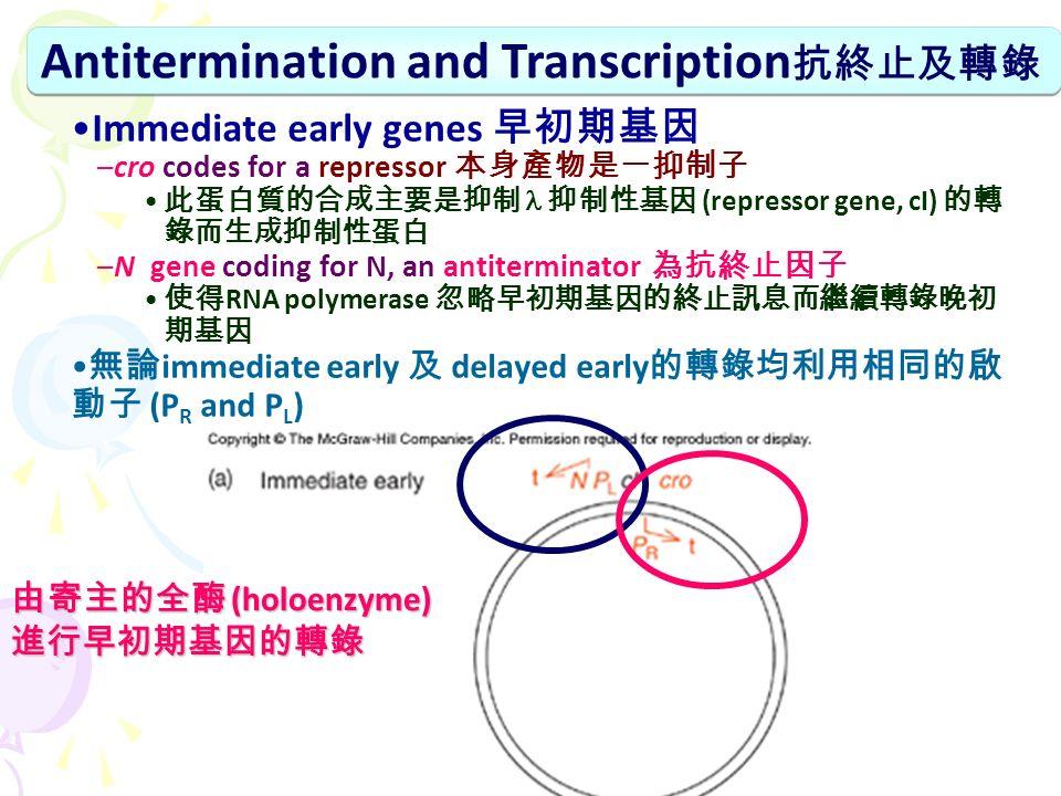 Antitermination and Transcription 抗終止及轉錄 Immediate early genes 早初期基因 –cro codes for a repressor 本身產物是一抑制子 此蛋白質的合成主要是抑制 抑制性基因 (repressor gene, cI) 的轉 錄而生成抑制性蛋白 –N gene coding for N, an antiterminator 為抗終止因子 使得 RNA polymerase 忽略早初期基因的終止訊息而繼續轉錄晚初 期基因 無論 immediate early 及 delayed early 的轉錄均利用相同的啟 動子 (P R and P L ) 由寄主的全酶 (holoenzyme) 進行早初期基因的轉錄
