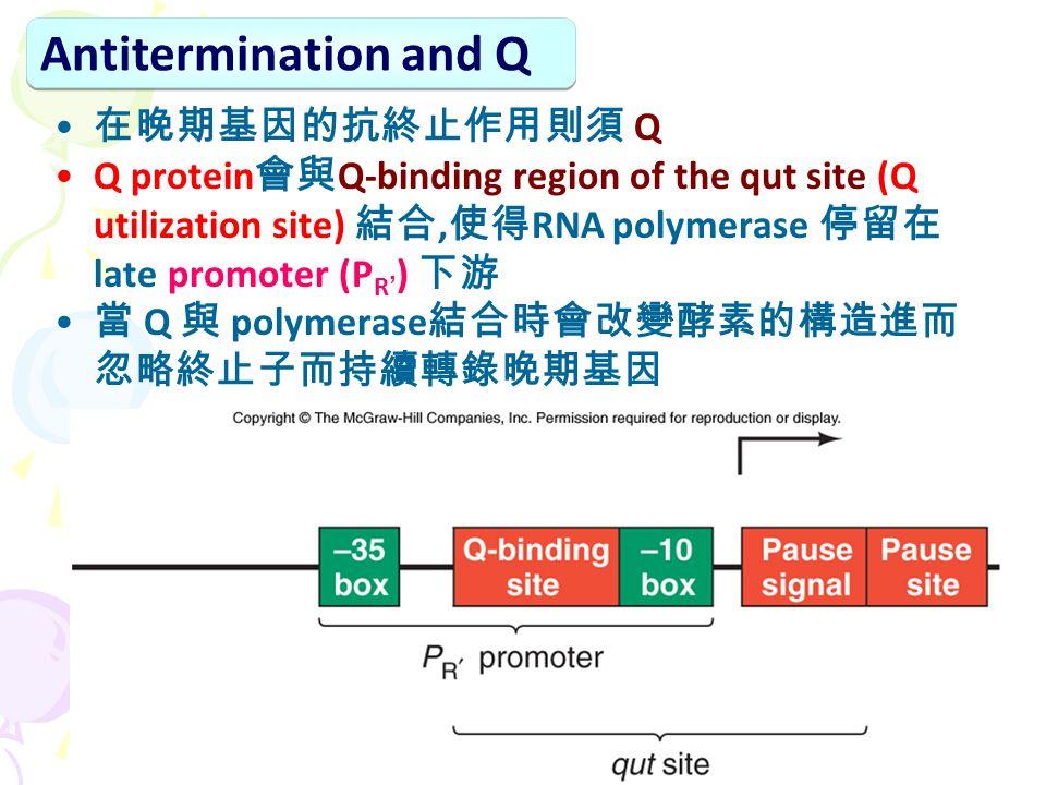 在晚期基因的抗終止作用則須 Q Q protein 會與 Q-binding region of the qut site (Q utilization site) 結合, 使得 RNA polymerase 停留在 late promoter (P R ' ) 下游 當 Q 與 polymerase 結合時會改變酵素的構造進而 忽略終止子而持續轉錄晚期基因 Antitermination and Q