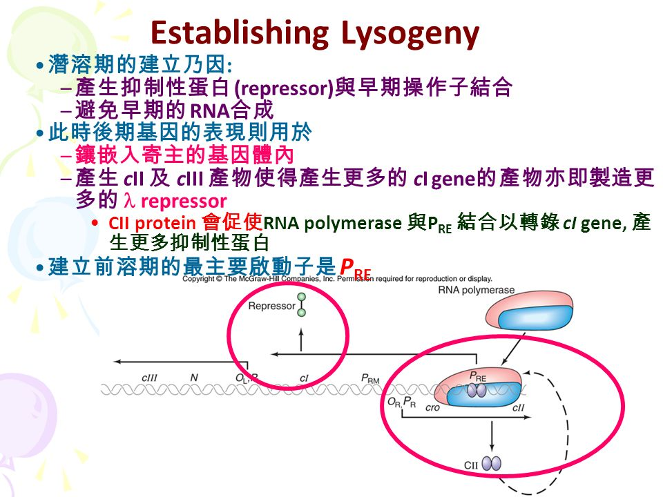 Establishing Lysogeny 潛溶期的建立乃因 : – 產生抑制性蛋白 (repressor) 與早期操作子結合 – 避免早期的 RNA 合成 此時後期基因的表現則用於 – 鑲嵌入寄主的基因體內 – 產生 cII 及 cIII 產物使得產生更多的 cI gene 的產物亦即製造更 多的 repressor CII protein 會促使 RNA polymerase 與 P RE 結合以轉錄 cI gene, 產 生更多抑制性蛋白 建立前溶期的最主要啟動子是 P RE