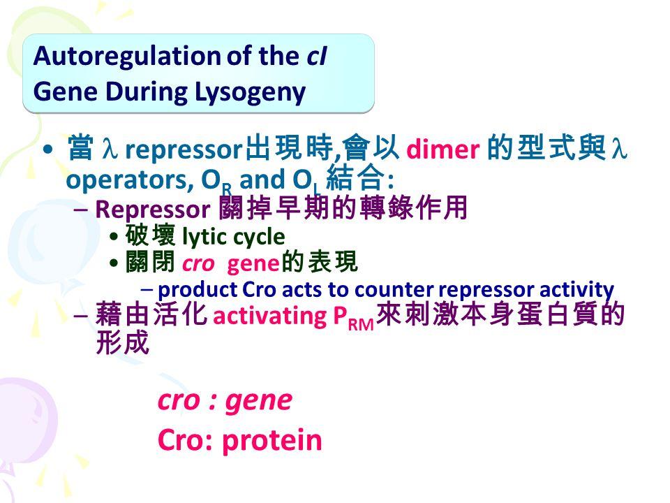 當 repressor 出現時, 會以 dimer 的型式與 operators, O R and O L 結合 : –Repressor 關掉早期的轉錄作用 破壞 lytic cycle 關閉 cro gene 的表現 –product Cro acts to counter repressor activity – 藉由活化 activating P RM 來刺激本身蛋白質的 形成 Autoregulation of the cI Gene During Lysogeny cro : gene Cro: protein