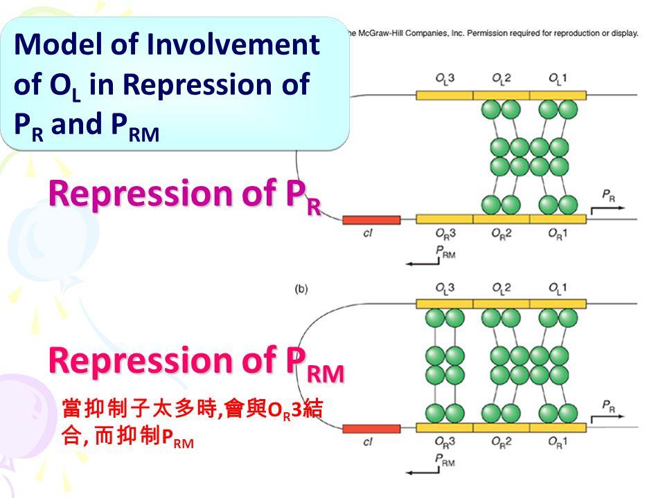 Model of Involvement of O L in Repression of P R and P RM Repression of P R Repression of P RM 當抑制子太多時, 會與 O R 3 結 合, 而抑制 P RM