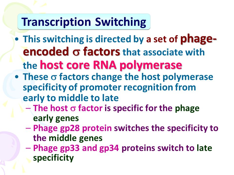 phage- encoded  factors host core RNA polymeraseThis switching is directed by a set of phage- encoded  factors that associate with the host core RNA polymerase These  factors change the host polymerase specificity of promoter recognition from early to middle to late –The host  factor is specific for the phage early genes –Phage gp28 protein switches the specificity to the middle genes –Phage gp33 and gp34 proteins switch to late specificity Transcription Switching