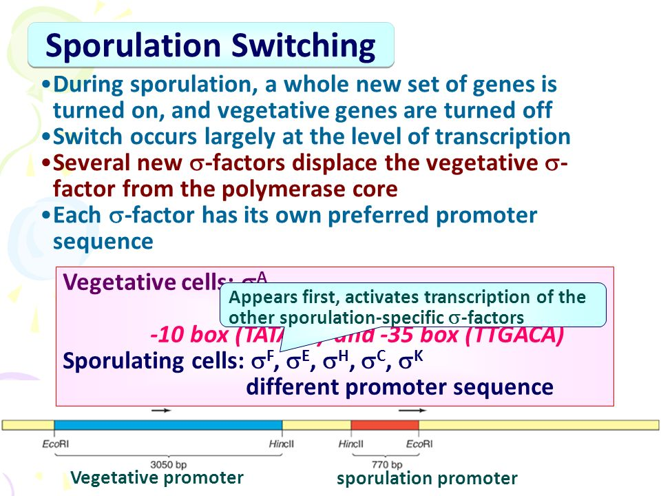 During sporulation, a whole new set of genes is turned on, and vegetative genes are turned off Switch occurs largely at the level of transcription Several new  -factors displace the vegetative  - factor from the polymerase core Each  -factor has its own preferred promoter sequence Sporulation Switching Vegetative cells:  A recognize promoters like E.