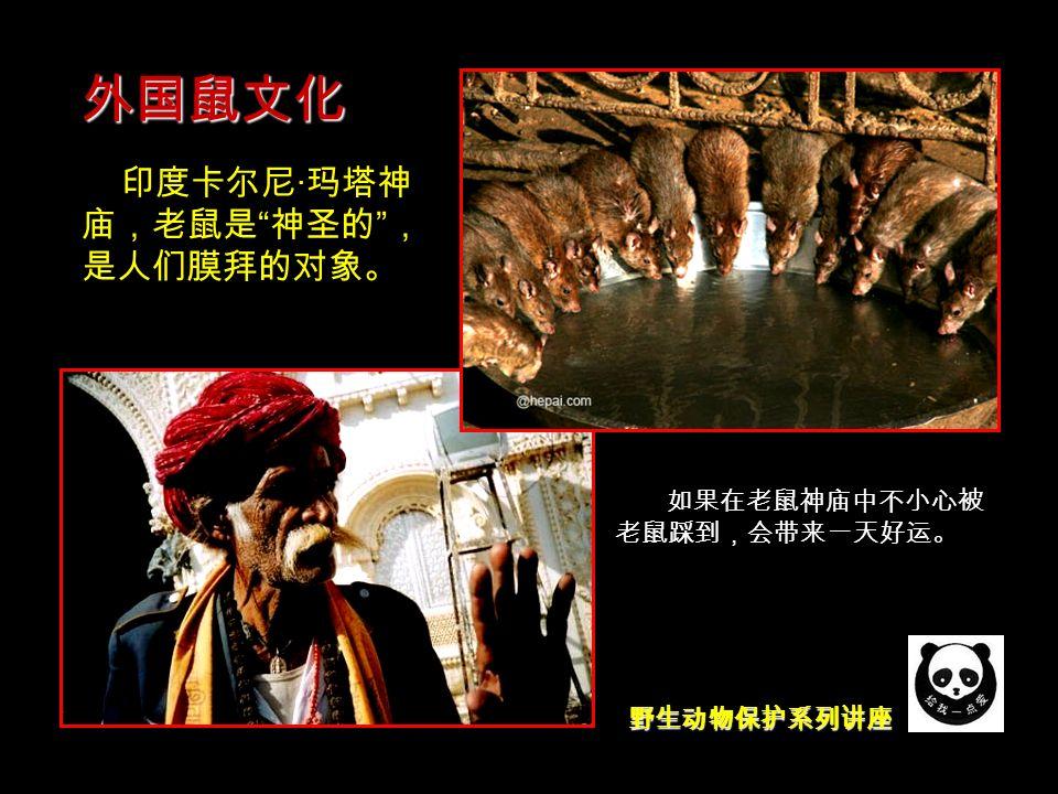 野生动物保护系列讲座 外国鼠文化 米老鼠 印度卡尔尼 · 玛塔神 庙,老鼠是 神圣的 , 是人们膜拜的对象。 如果在老鼠神庙中不小心被 老鼠踩到,会带来一天好运。