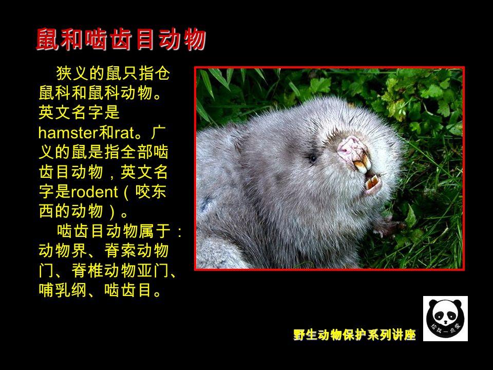 野生动物保护系列讲座 狭义的鼠只指仓 鼠科和鼠科动物。 英文名字是 hamster 和 rat 。广 义的鼠是指全部啮 齿目动物,英文名 字是 rodent (咬东 西的动物)。 啮齿目动物属于: 动物界、脊索动物 门、脊椎动物亚门、 哺乳纲、啮齿目。 鼠和啮齿目动物