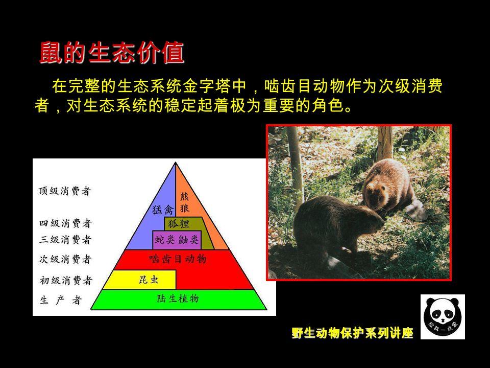 野生动物保护系列讲座 鼠的生态价值 在完整的生态系统金字塔中,啮齿目动物作为次级消费 者,对生态系统的稳定起着极为重要的角色。