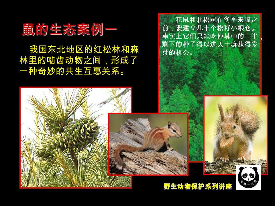 野生动物保护系列讲座 鼠的生态案例一 我国东北地区的红松林和森 林里的啮齿动物之间,形成了 一种奇妙的共生互惠关系。 花鼠和北松鼠在冬季来临之 前,要建立几十个松籽小粮仓。 事实上它们只能吃掉其中的一半, 剩下的种子得以进入土壤获得发 芽的机会。