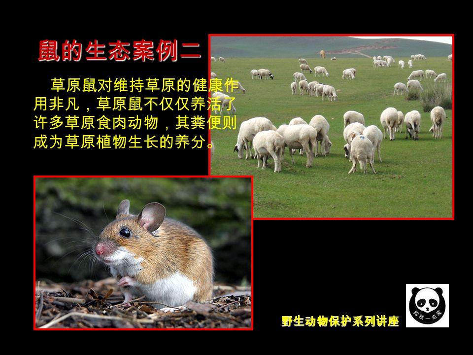 野生动物保护系列讲座 鼠的生态案例二 草原鼠对维持草原的健康作 用非凡,草原鼠不仅仅养活了 许多草原食肉动物,其粪便则 成为草原植物生长的养分。