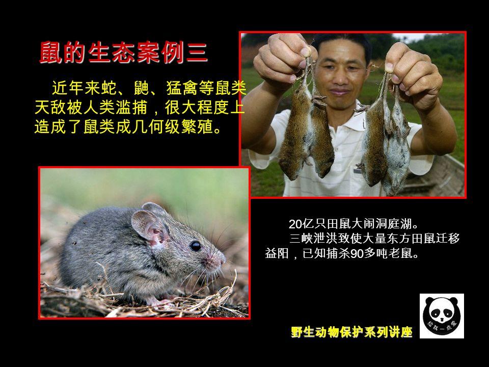 野生动物保护系列讲座 鼠的生态案例三 近年来蛇、鼬、猛禽等鼠类 天敌被人类滥捕,很大程度上 造成了鼠类成几何级繁殖。 20 亿只田鼠大闹洞庭湖。 三峡泄洪致使大量东方田鼠迁移 益阳,已知捕杀 90 多吨老鼠。