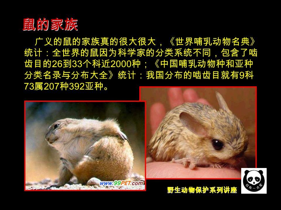 野生动物保护系列讲座 广义的鼠的家族真的很大很大,《世界哺乳动物名典》 统计:全世界的鼠因为科学家的分类系统不同,包含了啮 齿目的 26 到 33 个科近 2000 种;《中国哺乳动物种和亚种 分类名录与分布大全》统计:我国分布的啮齿目就有 9 科 73 属 207 种 392 亚种。 鼠的家族