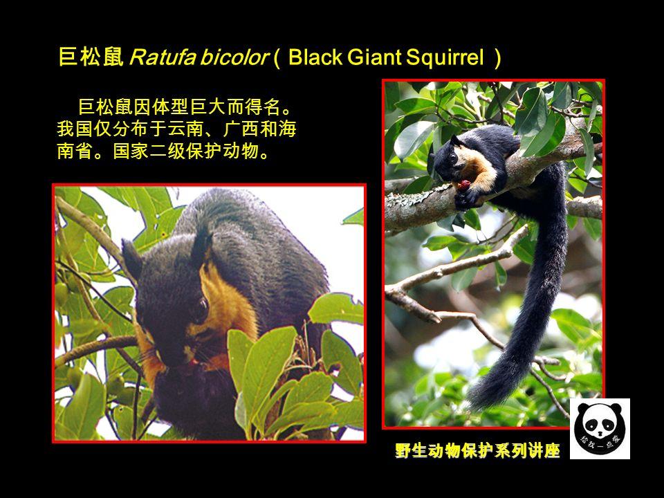 野生动物保护系列讲座 巨松鼠 Ratufa bicolor ( Black Giant Squirrel ) 巨松鼠因体型巨大而得名。 我国仅分布于云南、广西和海 南省。国家二级保护动物。