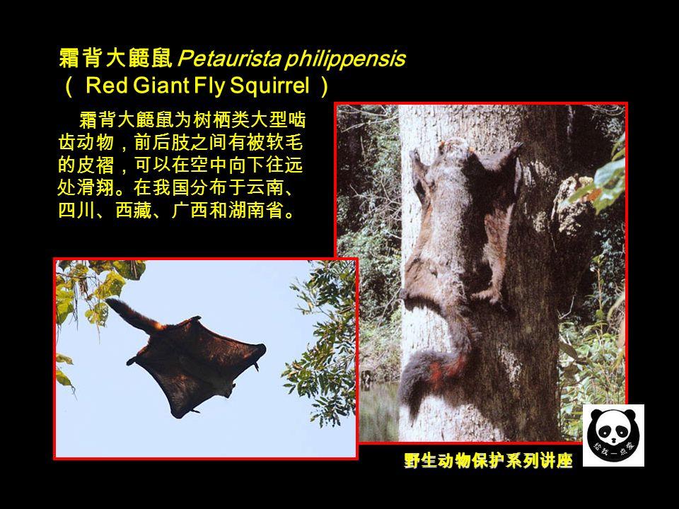 野生动物保护系列讲座 霜背大鼯鼠 Petaurista philippensis ( Red Giant Fly Squirrel ) 霜背大鼯鼠为树栖类大型啮 齿动物,前后肢之间有被软毛 的皮褶,可以在空中向下往远 处滑翔。在我国分布于云南、 四川、西藏、广西和湖南省。
