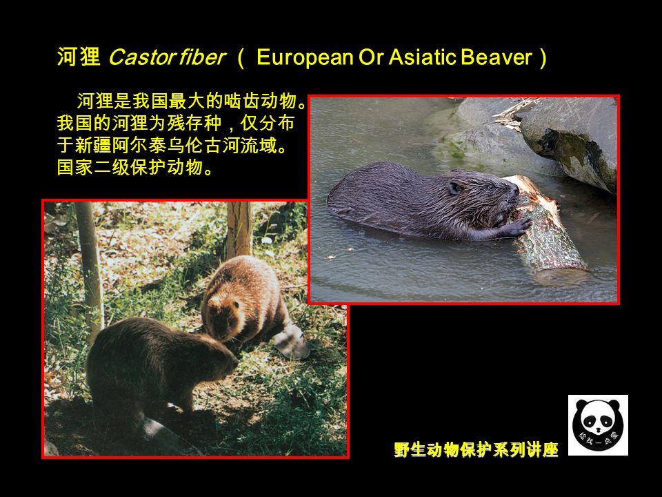 野生动物保护系列讲座 河狸 Castor fiber ( European Or Asiatic Beaver ) 河狸是我国最大的啮齿动物。 我国的河狸为残存种,仅分布 于新疆阿尔泰乌伦古河流域。 国家二级保护动物。
