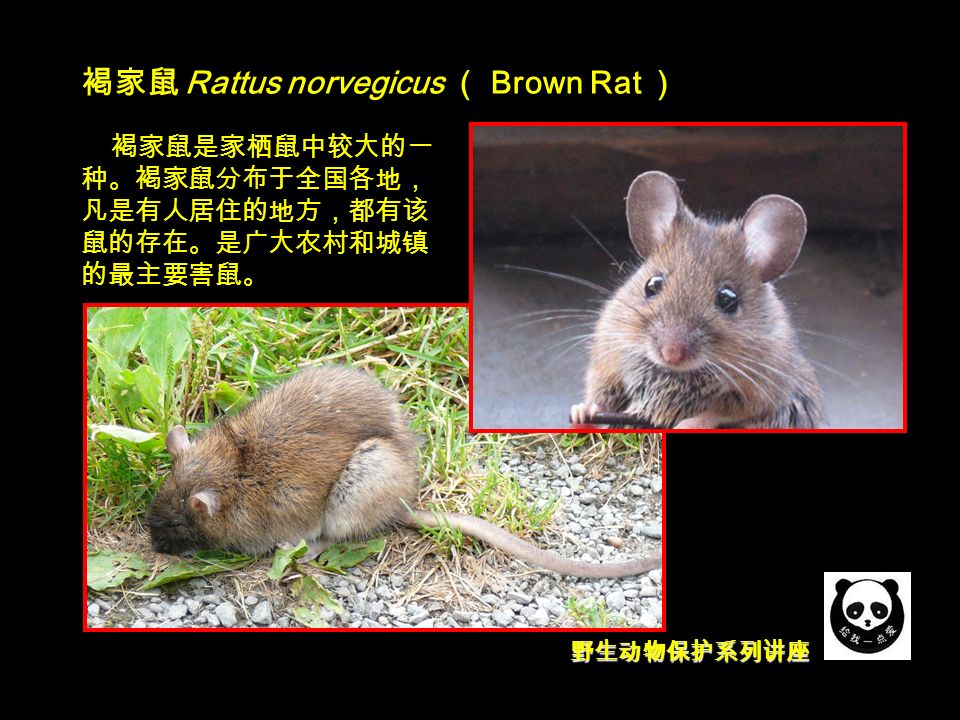 野生动物保护系列讲座 褐家鼠 Rattus norvegicus ( Brown Rat ) 褐家鼠是家栖鼠中较大的一 种。褐家鼠分布于全国各地, 凡是有人居住的地方,都有该 鼠的存在。是广大农村和城镇 的最主要害鼠。