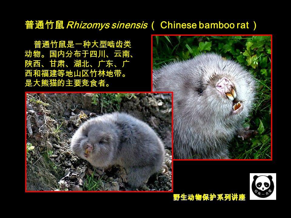 野生动物保护系列讲座 普通竹鼠 Rhizomys sinensis ( Chinese bamboo rat ) 普通竹鼠是一种大型啮齿类 动物。国内分布于四川、云南、 陕西、甘肃、湖北、广东、广 西和福建等地山区竹林地带。 是大熊猫的主要竞食者。