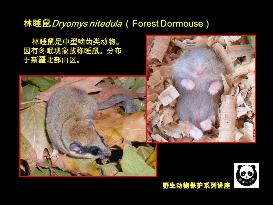 野生动物保护系列讲座 林睡鼠 Dryomys nitedula ( Forest Dormouse ) 林睡鼠是中型啮齿类动物。 因有冬眠现象故称睡鼠。分布 于新疆北部山区。