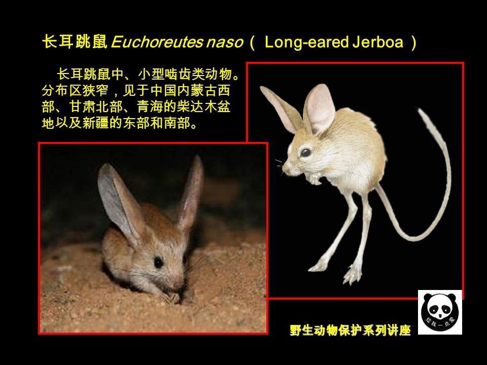 野生动物保护系列讲座 长耳跳鼠 Euchoreutes naso ( Long-eared Jerboa ) 长耳跳鼠中、小型啮齿类动物。 分布区狭窄,见于中国内蒙古西 部、甘肃北部、青海的柴达木盆 地以及新疆的东部和南部。