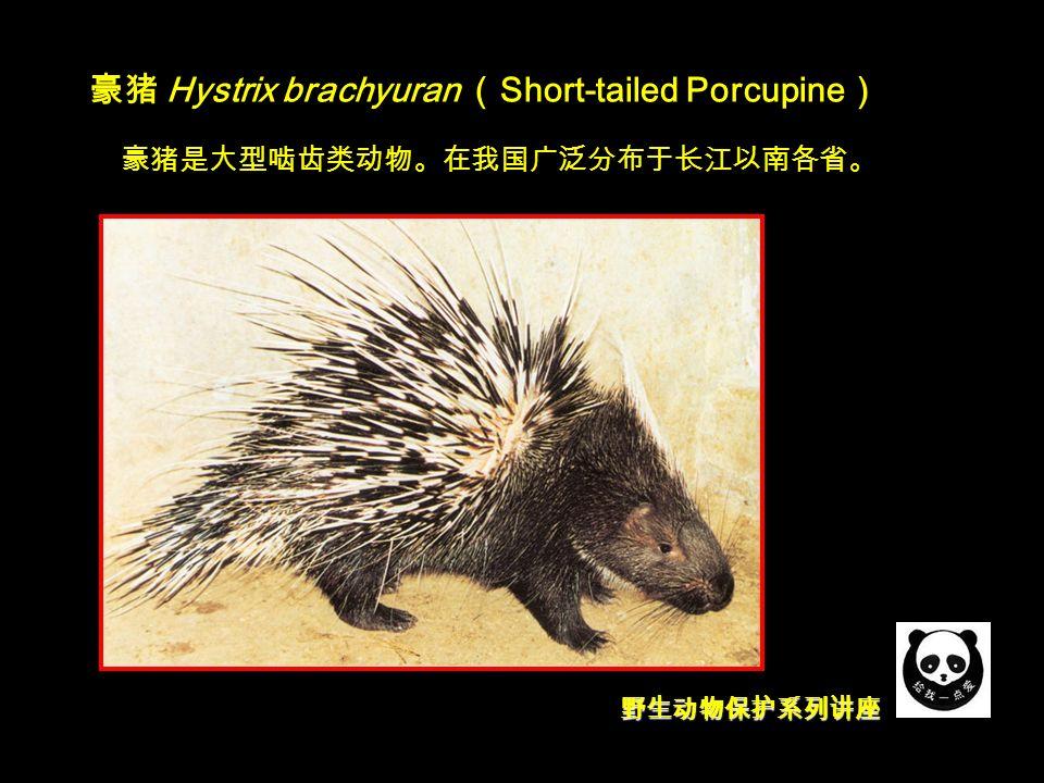 野生动物保护系列讲座 豪猪 Hystrix brachyuran ( Short-tailed Porcupine ) 豪猪是大型啮齿类动物。在我国广泛分布于长江以南各省。