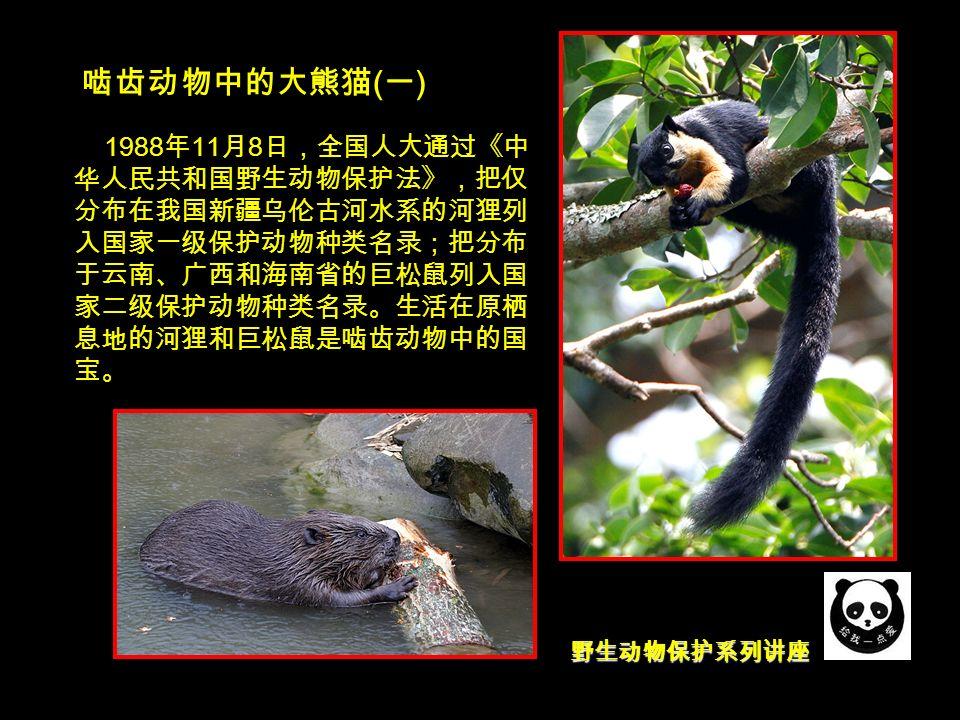 野生动物保护系列讲座 啮齿动物中的大熊猫 ( 一 ) 1988 年 11 月 8 日,全国人大通过《中 华人民共和国野生动物保护法》,把仅 分布在我国新疆乌伦古河水系的河狸列 入国家一级保护动物种类名录;把分布 于云南、广西和海南省的巨松鼠列入国 家二级保护动物种类名录。生活在原栖 息地的河狸和巨松鼠是啮齿动物中的国 宝。