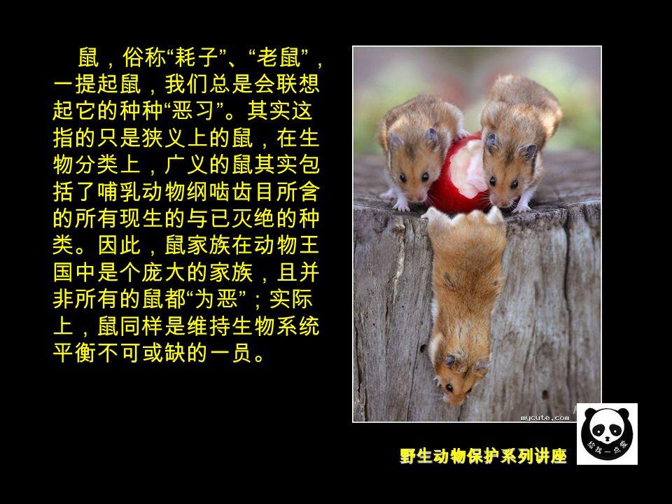 野生动物保护系列讲座 鼠,俗称 耗子 、 老鼠 , 一提起鼠,我们总是会联想 起它的种种 恶习 。其实这 指的只是狭义上的鼠,在生 物分类上,广义的鼠其实包 括了哺乳动物纲啮齿目所含 的所有现生的与已灭绝的种 类。因此,鼠家族在动物王 国中是个庞大的家族,且并 非所有的鼠都 为恶 ;实际 上,鼠同样是维持生物系统 平衡不可或缺的一员。