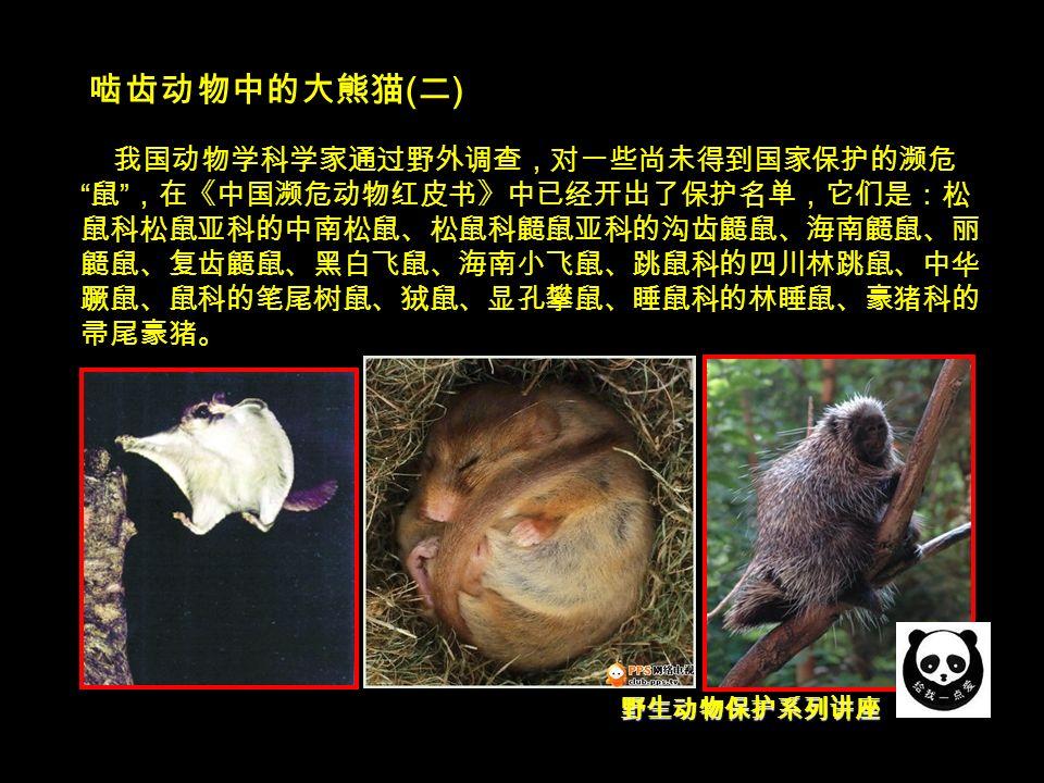 野生动物保护系列讲座 啮齿动物中的大熊猫 ( 二 ) 我国动物学科学家通过野外调查,对一些尚未得到国家保护的濒危 鼠 ,在《中国濒危动物红皮书》中已经开出了保护名单,它们是:松 鼠科松鼠亚科的中南松鼠、松鼠科鼯鼠亚科的沟齿鼯鼠、海南鼯鼠、丽 鼯鼠、复齿鼯鼠、黑白飞鼠、海南小飞鼠、跳鼠科的四川林跳鼠、中华 蹶鼠、鼠科的笔尾树鼠、狨鼠、显孔攀鼠、睡鼠科的林睡鼠、豪猪科的 帚尾豪猪。