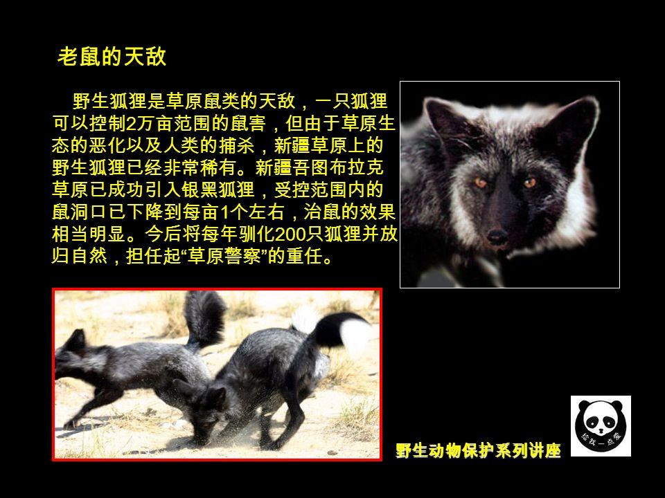 野生动物保护系列讲座 老鼠的天敌 野生狐狸是草原鼠类的天敌,一只狐狸 可以控制 2 万亩范围的鼠害,但由于草原生 态的恶化以及人类的捕杀,新疆草原上的 野生狐狸已经非常稀有。新疆吾图布拉克 草原已成功引入银黑狐狸,受控范围内的 鼠洞口已下降到每亩 1 个左右,治鼠的效果 相当明显。今后将每年驯化 200 只狐狸并放 归自然,担任起 草原警察 的重任。