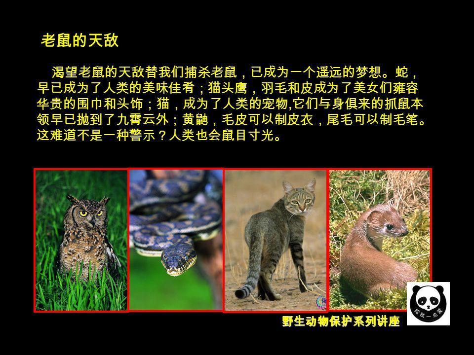 野生动物保护系列讲座 老鼠的天敌 渴望老鼠的天敌替我们捕杀老鼠,已成为一个遥远的梦想。蛇, 早已成为了人类的美味佳肴;猫头鹰,羽毛和皮成为了美女们雍容 华贵的围巾和头饰;猫,成为了人类的宠物, 它们与身俱来的抓鼠本 领早已抛到了九霄云外;黄鼬,毛皮可以制皮衣,尾毛可以制毛笔。 这难道不是一种警示?人类也会鼠目寸光。
