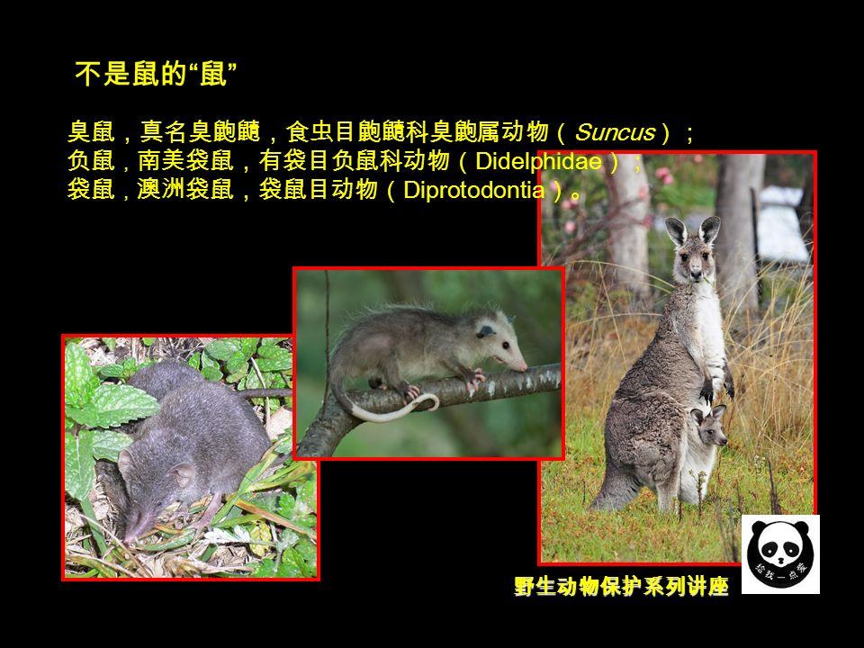 野生动物保护系列讲座 不是鼠的 鼠 臭鼠,真名臭鼩鼱,食虫目鼩鼱科臭鼩属动物( Suncus ); 负鼠 , 南美袋鼠,有袋目负鼠科动物( Didelphidae ); 袋鼠 , 澳洲袋鼠,袋鼠目动物( Diprotodontia )。