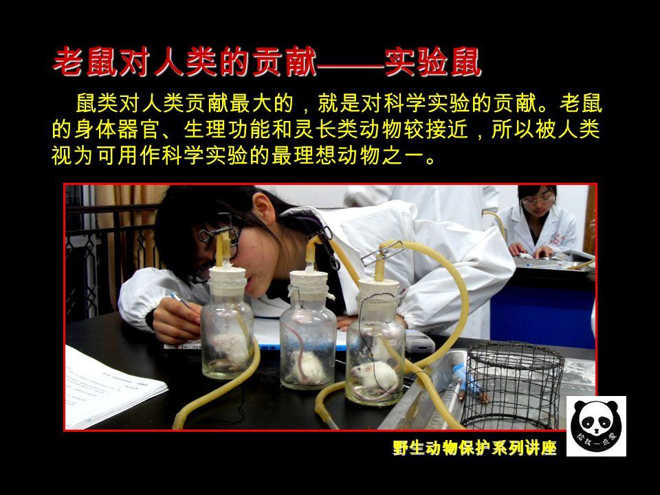 野生动物保护系列讲座 鼠类对人类贡献最大的,就是对科学实验的贡献。老鼠 的身体器官、生理功能和灵长类动物较接近,所以被人类 视为可用作科学实验的最理想动物之一。 老鼠对人类的贡献 —— 实验鼠