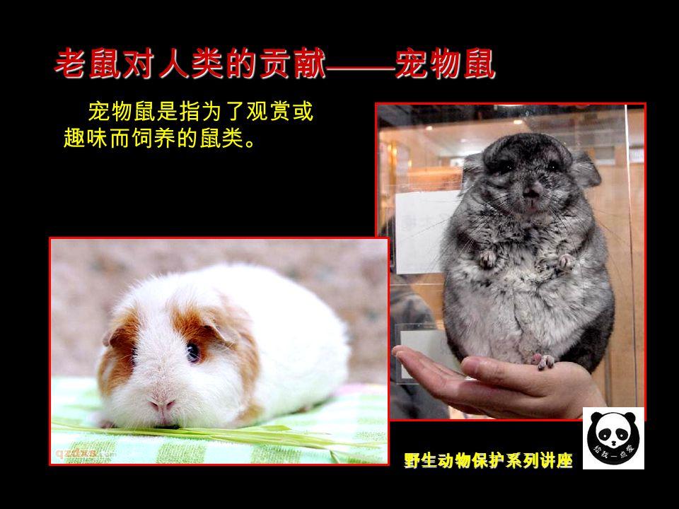 野生动物保护系列讲座 宠物鼠是指为了观赏或 趣味而饲养的鼠类。 老鼠对人类的贡献 —— 宠物鼠