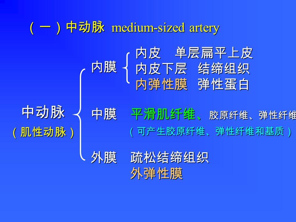 (一)中动脉 medium-sized artery 中动脉 内膜 中膜 平滑肌纤维、 胶原纤维、弹性纤维 (可产生胶原纤维、弹性纤维和基质) (可产生胶原纤维、弹性纤维和基质) 外膜 疏松结缔组织 外弹性膜 外弹性膜 内皮 单层扁平上皮 内皮下层 结缔组织 内皮下层 结缔组织 内弹性膜 弹性蛋白 内弹性膜 弹性蛋白 (肌性动脉)