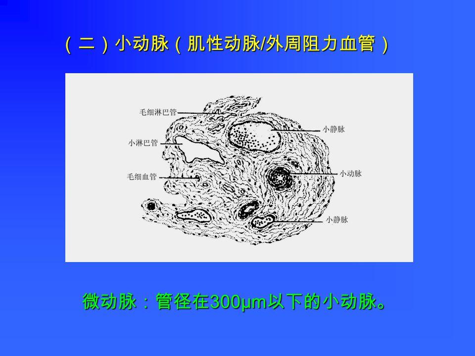 微动脉:管径在 300µm 以下的小动脉。 (二)小动脉(肌性动脉 / 外周阻力血管)