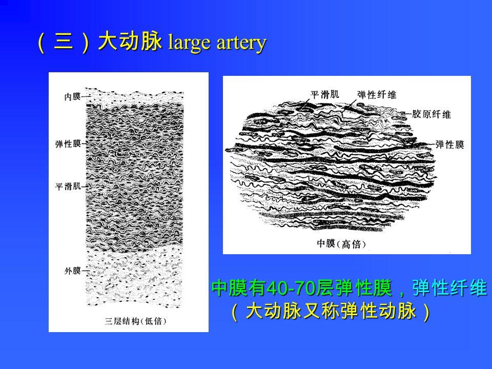 (三)大动脉 large artery 中膜有 40-70 层弹性膜,弹性纤维 (大动脉又称弹性动脉) (大动脉又称弹性动脉)