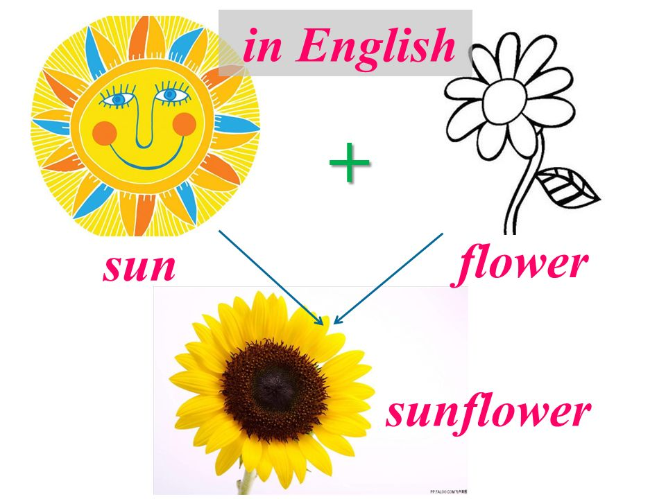 + sun flower sunflower in English