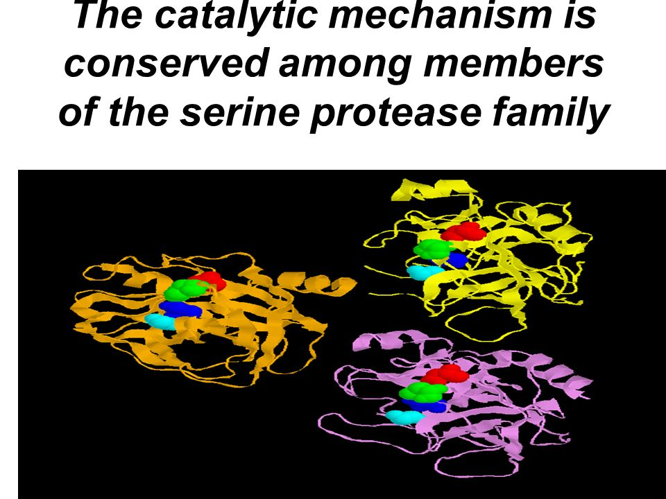 The catalytic mechanism is conserved among members of the serine protease family