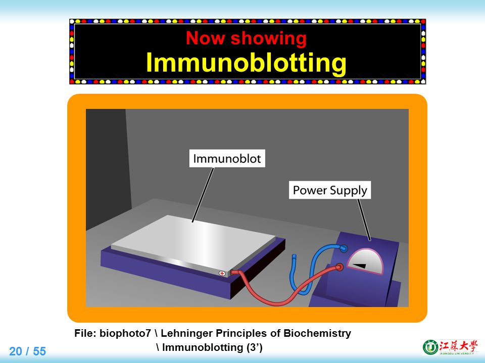 20 / 55 Now showing Immunoblotting File: biophoto7 \ Lehninger Principles of Biochemistry \ Immunoblotting (3')