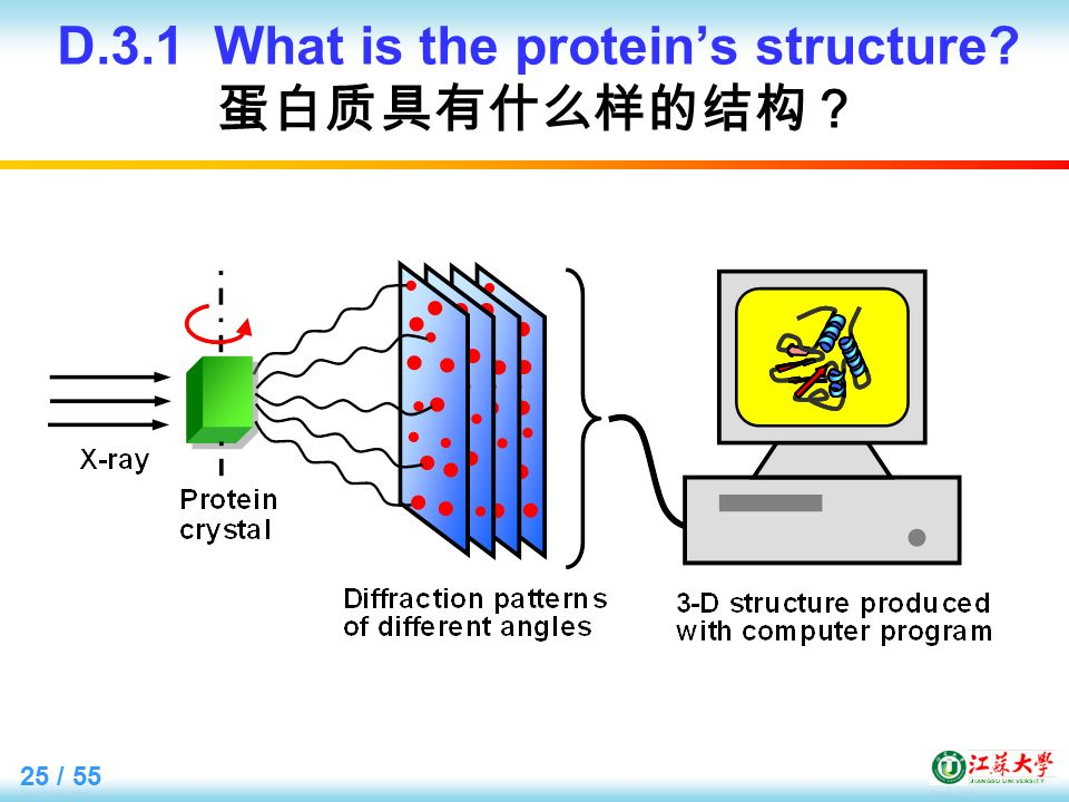 25 / 55 D.3.1 What is the protein's structure 蛋白质具有什么样的结构?