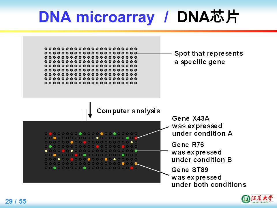 29 / 55 DNA microarray / DNA 芯片