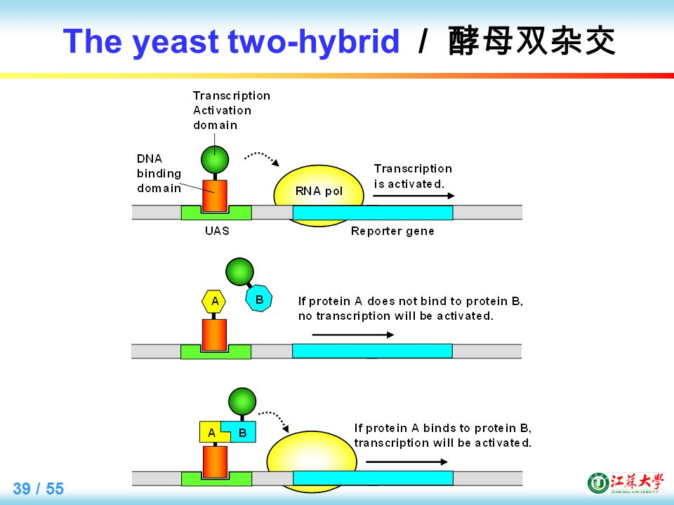 39 / 55 The yeast two-hybrid / 酵母双杂交