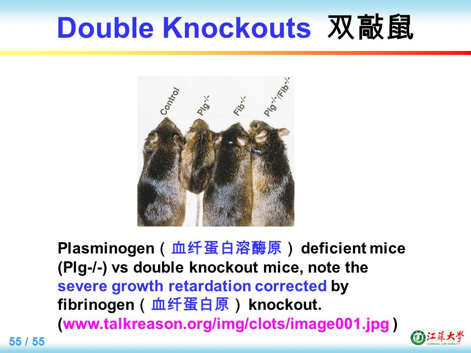 55 / 55 Double Knockouts 双敲鼠 Plasminogen (血纤蛋白溶酶原) deficient mice (Plg-/-) vs double knockout mice, note the severe growth retardation corrected by fibrinogen (血纤蛋白原) knockout.