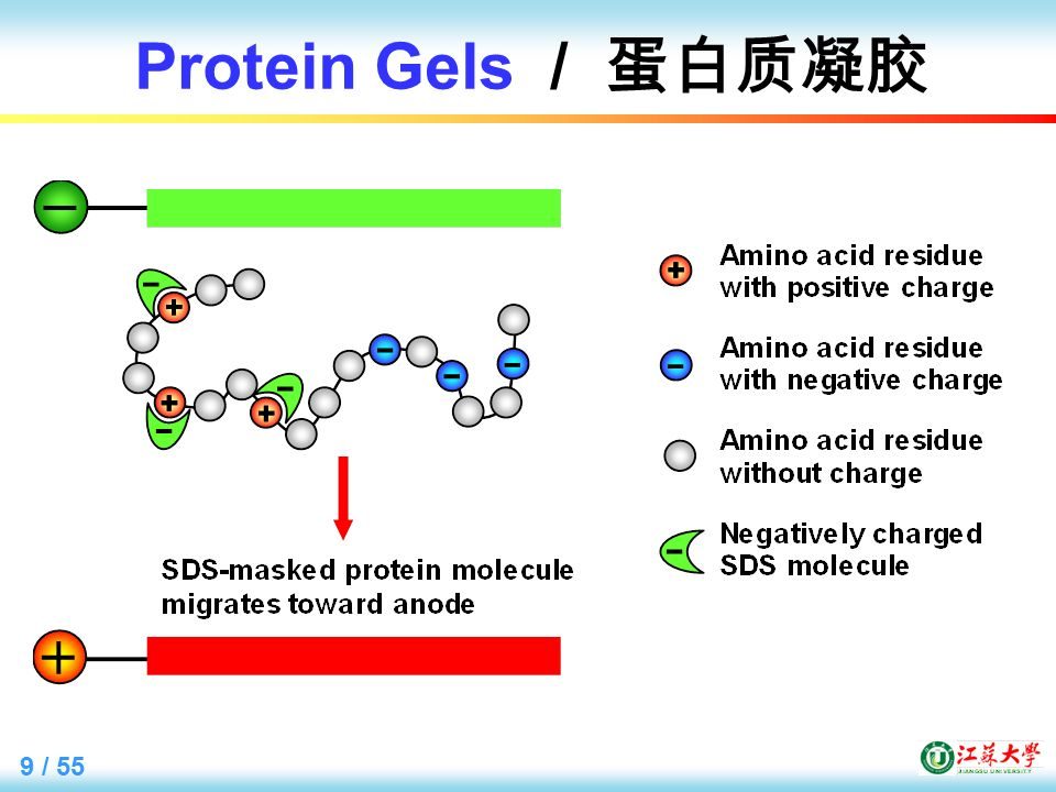 9 / 55 Protein Gels / 蛋白质凝胶