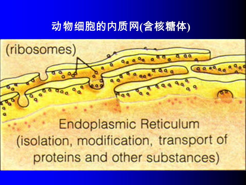 动物细胞的内质网 ( 含核糖体 )