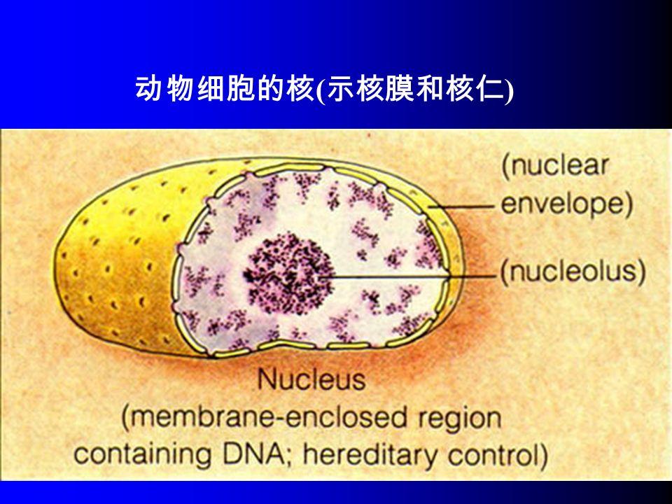 动物细胞的核 ( 示核膜和核仁 )