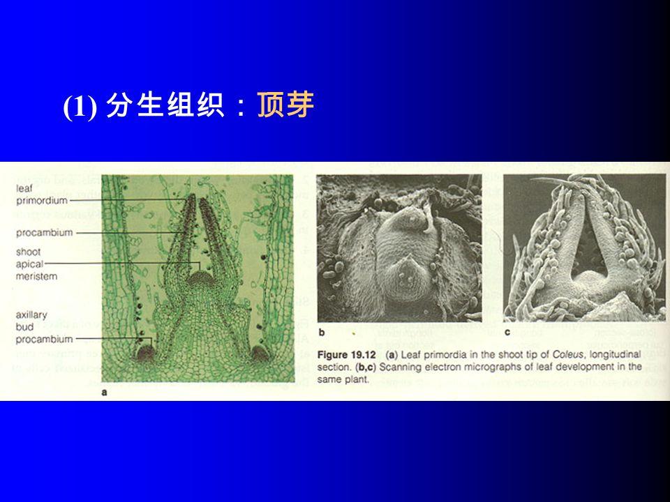 (1) 分生组织:顶芽