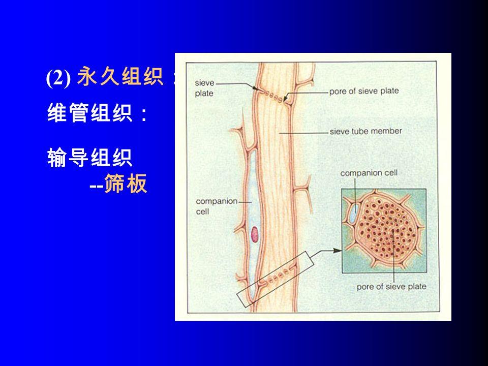 维管组织: (2) 永久组织: 输导组织 -- 筛板